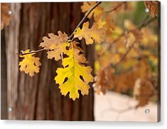Oak Leaf Acrylic Print by Denice Breaux