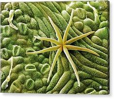 Oak Leaf Epidermis (quercus Robur) Acrylic Print by Power And Syred