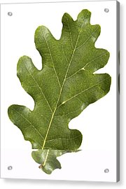 Oak (quercus Robur) Leaf Acrylic Print by Science Photo Library
