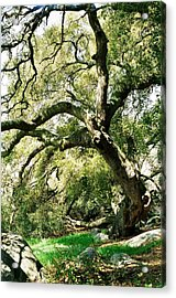 Acrylic Print featuring the photograph Oak Spirit by Kathy Bassett