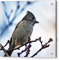 Acrylic Print featuring the photograph Oak Titmouse by Gary Brandes