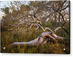 Oak Trees In The Marsh Acrylic Print by Debra and Dave Vanderlaan
