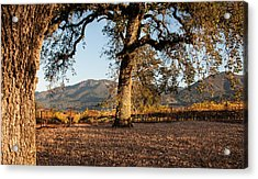 Oak Trees In The Vineyard Acrylic Print by Kent Sorensen