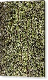 Oak With Lichen Acrylic Print