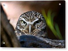 Observant Owl Acrylic Print by Dave Dilli