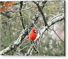 Observing Cardinal Acrylic Print by Cindy Croal