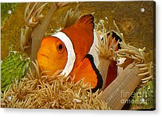 Ocellaris Clown Fish No 1 Acrylic Print by Jerry Fornarotto