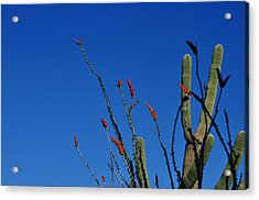 Ocotillo And Saguaro Acrylic Print by Diane Lent