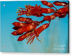 Ocotillo Flowers Acrylic Print by Robert Bales