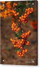 October Berries Acrylic Print by Zori Minkova
