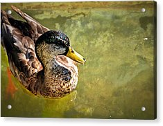 October Duck Acrylic Print by Marty Koch