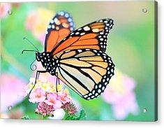 October Monarch Acrylic Print by Lorri Crossno