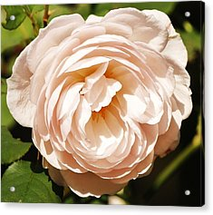 Acrylic Print featuring the photograph October Rose by Al Fritz