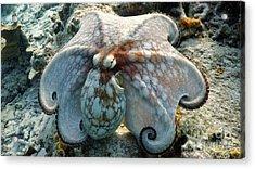 Octopus Posing Acrylic Print