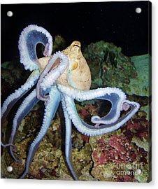 Octopus Waikiki Acrylic Print by Brigitte Emme