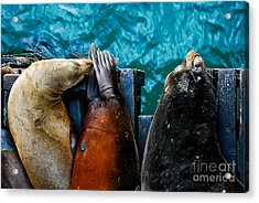 Odd Man Out California Sea Lions Acrylic Print by Terry Garvin