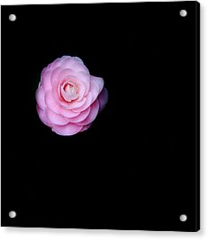 Oh Camellia Acrylic Print by Rebecca Cozart