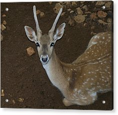 Oh Deer Acrylic Print by Noreen HaCohen