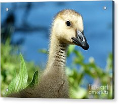 Acrylic Print featuring the photograph Oh Hi by Jane Ford