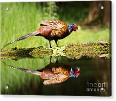 Oh My What A Handsome Pheasant Acrylic Print by Louise Heusinkveld