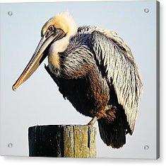 Oh So Pretty Pelican Acrylic Print by Paulette Thomas