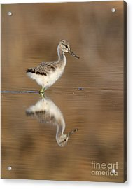 Oh So Sweet Avocet Chick Acrylic Print by Ruth Jolly