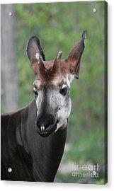 Acrylic Print featuring the photograph Okapi #2 by Judy Whitton
