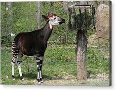 Okapi Acrylic Print by Judy Whitton