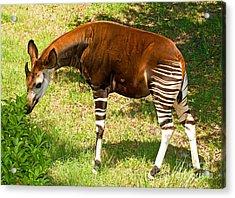Okapi Acrylic Print by Millard H. Sharp