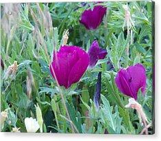 Oklahoma Purple Wildflowers Acrylic Print