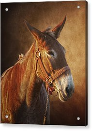 Ol Red Acrylic Print by Ron  McGinnis