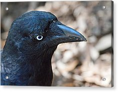 Old Blue Eyes The Raven Acrylic Print by Mr Bennett Kent