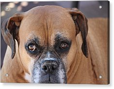 Old Boxer Acrylic Print by John Greco