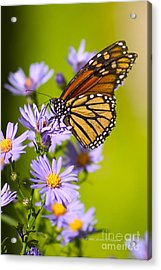 Old Butterfly On Aster Flower Acrylic Print