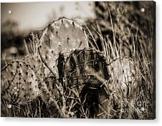Acrylic Print featuring the photograph Old Cactus by Amber Kresge