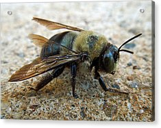 Old Carpenter Bee Acrylic Print by Pete Trenholm