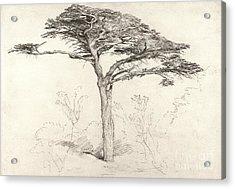 Old Cedar Tree In Botanic Garden Chelsea Acrylic Print