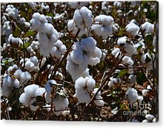 Old Cotton Fields Back Home Acrylic Print by Beverly Guilliams