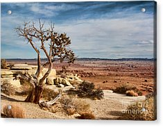 Old Desert Cypress Struggles To Survive Acrylic Print