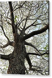 Old Dogwood Tree Acrylic Print by Giffin Photography