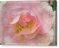 Old English Rose Acrylic Print by Liz  Alderdice
