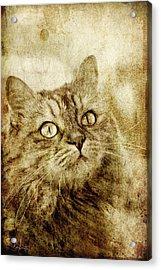 Old Fashion Cat Acrylic Print