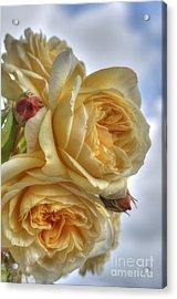 Old Fashion Roses Acrylic Print