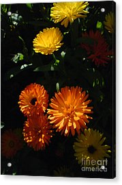 Acrylic Print featuring the photograph Old-fashioned Marigolds by Martin Howard