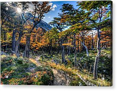 Old Forest Acrylic Print by Roman St