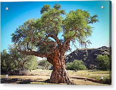 Old Gnarled Tree Acrylic Print
