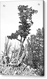 Old Gnarly Tree Acrylic Print