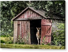 Old Gray Mare Acrylic Print by Debbie Green