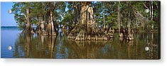 Old-growth Cypresses At Lake Fausse Acrylic Print