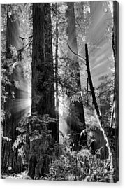 Old Growth Forest Light Black And White Acrylic Print by Leland D Howard